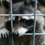 Wasbeer in gevangenschap